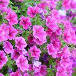 Petunias: Cómo cuidar una Petunia