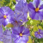 Cómo cuidar de violetas