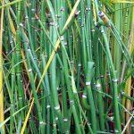 Cómo es el bambú gigante