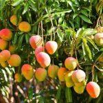 Cómo y cuándo sembrar mango