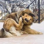 Sarna en perros: Cómo tratarla y Remedios Caseros