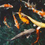 Cómo nacen los peces