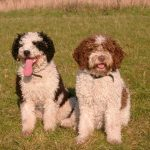 Perros de Agua: cómo cuidar a un Perro de Agua