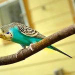 Cómo son los canarios azules