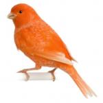 Cómo son los canarios rojos