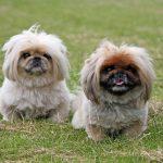 Razas de perros para vivir en apartamentos o pisos