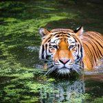 Cuánto pesa un tigre