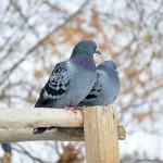 Qué significa soñar con palomas