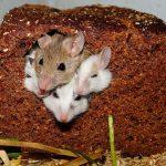 Cómo matar las ratas
